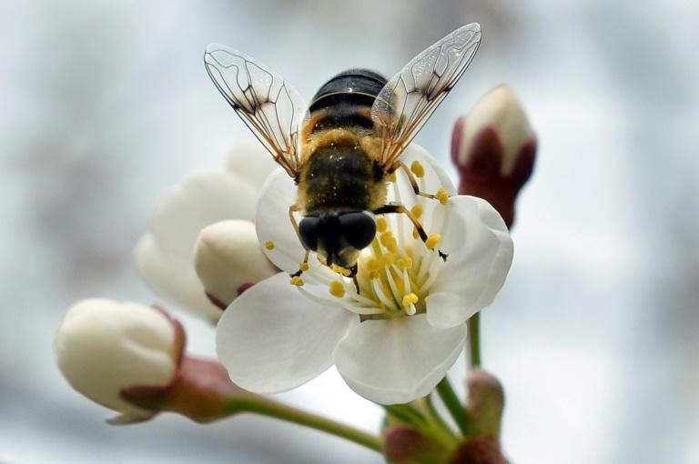 Scientists are hoping the increased attention on the importance of pollination to our natural habitat will cast a light on the often-overlooked role of the hoverfly