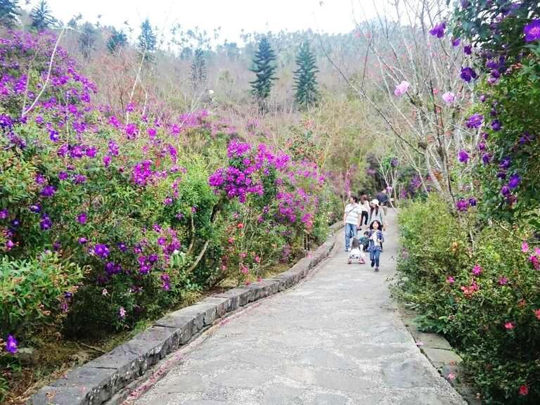 楠西梅嶺花季:紫牡丹、杜鵑、山櫻