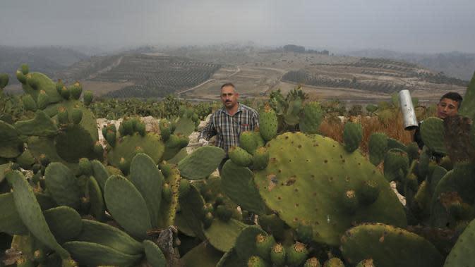 Ayman Ibrewish mengumpulkan buah pir berduri dari ladangnya di Desa al-Simiya, dekat Kota Hebron, Tepi Barat, Palestina, Selasa (4/8/2020). (HAZEM BADER/AFP)