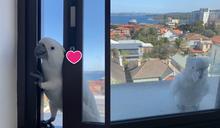 自來熟鸚鵡「開窗闖民宅」 竟厚臉皮揪同伴:哈囉請給飯!
