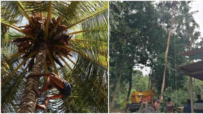 Diduga Kelelahan, Kakek 68 Tahun Tewas Saat Berada di Atas Pohon Setinggi 30 Meter. (Sumber: Kosmo)