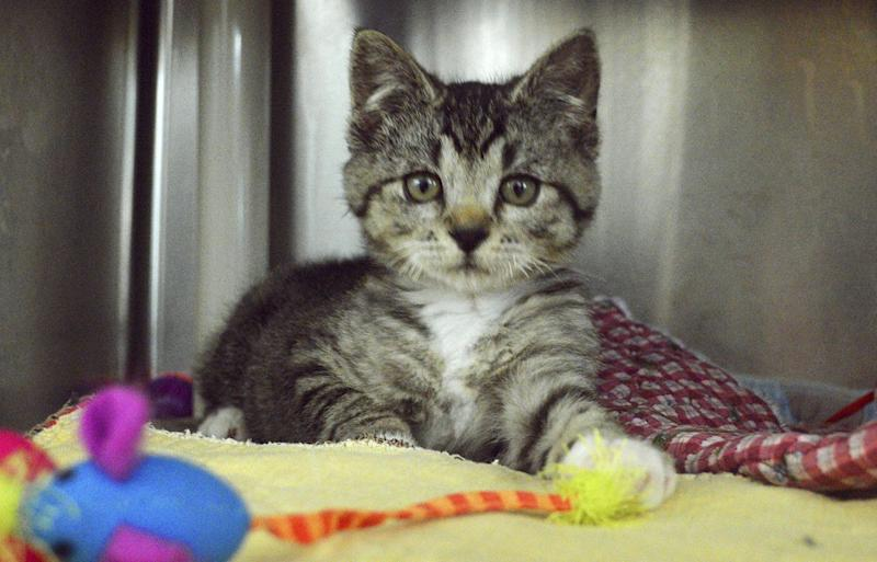 The kitten rescued from the Oregon bin is now clean and fully recovered. Source: Washington County Animal Services via AP