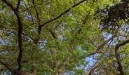 樹齡比加拿大立國還久 多倫多老橡樹命運堪虞