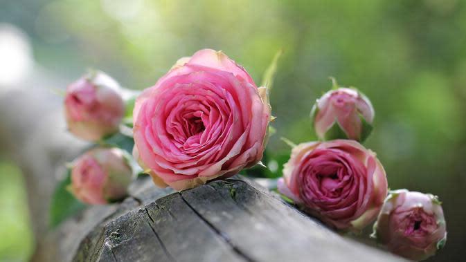 Gambar Bunga Mawar Merah Jambu (Sumber:Pixabay)