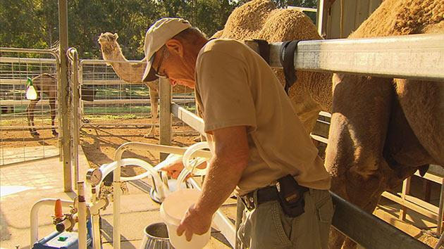 SN ART Camel milk: Your questions answered