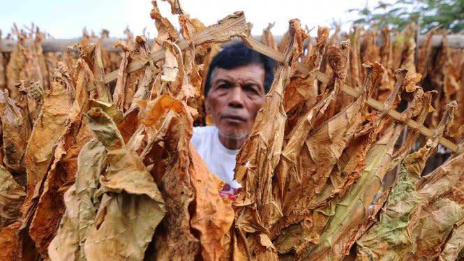 Petani Beberkan Dampak Penyederhanaan dan Kenaikan Cukai Rokok