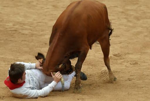 A reveller is tossed by a heifer bull during festivities