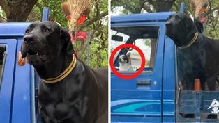 新竹驚見巨無霸大型犬 網看笑瘋:駕駛才是主角