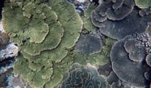 珊瑚白化:海洋環境急遽變化的警訊