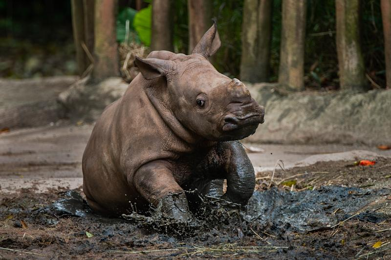 Singapore Zoo's 24th rhinoceros calf has been named Dalia, after the Swahili word for gentle and tender. (PHOTO: Wildlife Reserves Singapore)