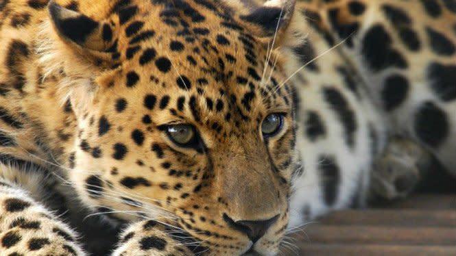 Ingin Mendaki Gunung Semeru, Waspada Macan Tutul Melintas