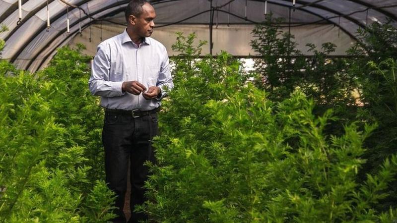 Rasamiharimanana Solofo, insinyur agrikultur dan periset, memeriksa tanaman artemisia