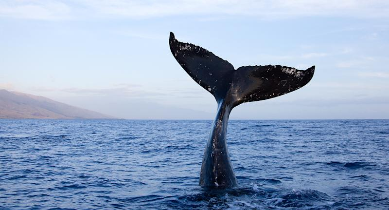 Humpback whale tail high out of water in Maui, Hawaii. Source: Getty