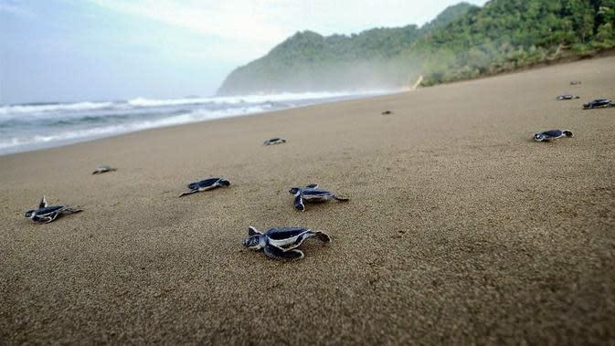 Pantai Sukamade (sumber: asliindonesia)