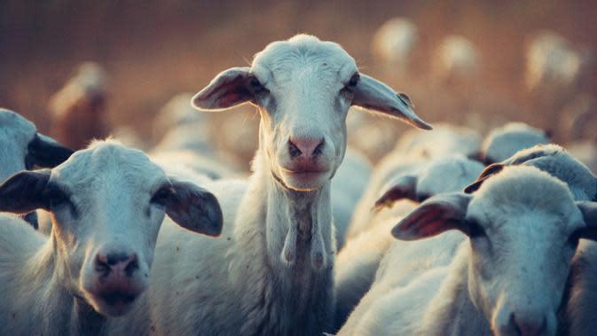 ilustan hewan kurban | pexels.com/@snapwire
