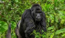 辯稱自衛殺死大猩猩 兇手被判重刑