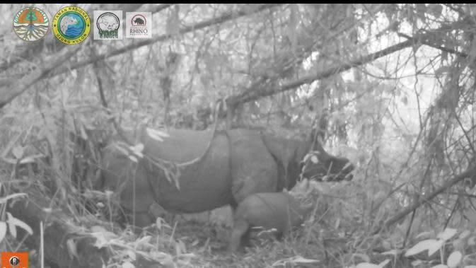 Penampakan anak badan jawa betina bernama Helen di Taman Nasional Ujung Kulon. (dok. Balai TN Ujung Kulon, KLHK/Dinny Mutiah)