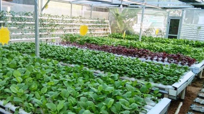 Beragam jenis sayur-sayuran ditanam oleh Adie Alqodery pemilik usaha Green Corner Hydroponic Palembang, yang dipasarkan di medsos Facebook (Dok. Humas Axicom untuk Facebook Indonesia / Nefri Inge)