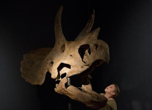 """Elia aged 4, poses for photographs beside a triceratops skull during a photo call at Christie's auction house in London, Monday, Aug. 5, 2013. The skull, which was excavated from private land in the U.S., is estimated to fetch between 150,000 to 250,000 pounds ($230,000 to $380,000, euro 173,000 to 289,000 ) in an """"Out of the Ordinary"""" sale on September 5. (AP Photo/Matt Dunham)"""