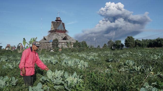 Seorang petani terlihat saat Gunung Sinabung mengeluarkan erupsi asap tebal ke udara di Karo, Sumatera Utara, Minggu, (23/8/2020). Untuk kesekian kalinnya Gunung Sinabung kembali erupsi dengan menyemburkan abu vulkanis ke udara hingga radius 2 kilometer. (Muhammad Zulfan Dalimunthe / AFP)