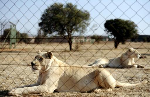 Trophy hunting of lions bred in captivity is a $36-million industry in South Africa