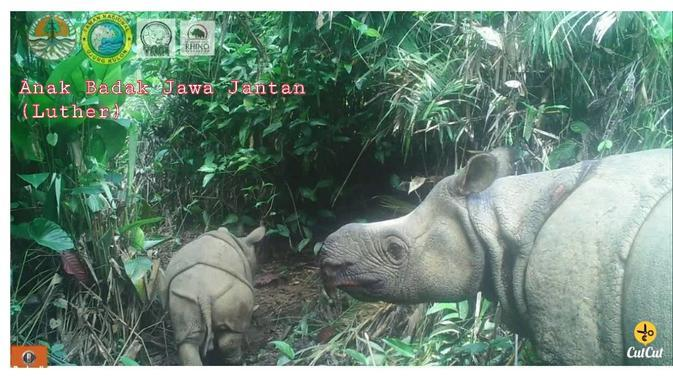 Badak Jawa bernama Luther dan Helen lahir di Taman Nasional (TN) Ujung Kulon. (@kementerianlh)