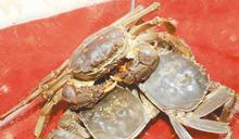 友曝:這樣吃螃蟹超補!大媽嗑完30隻「胸腔爆膿液」 竟感染10種寄生蟲