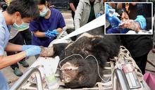 台灣黑熊誤入陷阱左掌趾全斷 復原良好有望月底野放