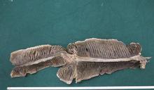 海關機場檢330公斤受管制前口蝠鰓 市值約90萬元