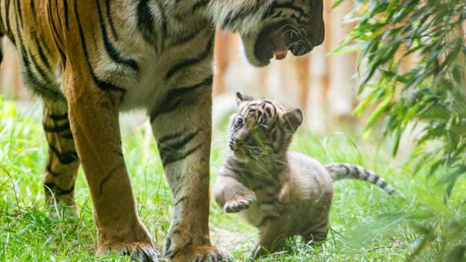 Dalam foto tanpa tanggal memperlihatkan seekor anak Harimu Sumatera bermain dengan induknya di Kebun Binatang Wroclaw, Polandia. Juru bicara Kebun Binatang Wroclaw, Joanna Kij, mengatakan kelahiran anak harimau merupakan kesuksesan besar bagi kebun binatang. (Wroclaw Zoo via AP)