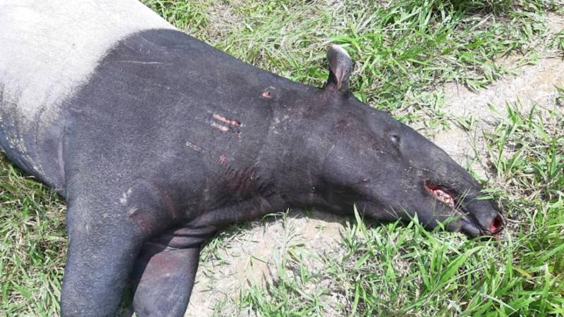 The dead adult female tapir, believed to be a victim of a hit and run incident, was found along Jalan Padang Tembak in Kluang yesterday. — Picture courtesy of Johor Wildlife and National Parks Department