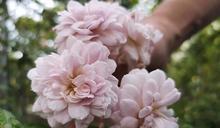 到臺北玫瑰園 來一場浪漫約會或來一場嚴守秘密的約定