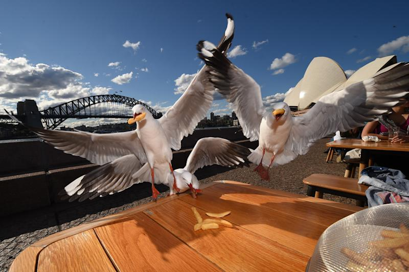 Two seagulls grab chips at Sydney's Opera Bar. Source: Getty