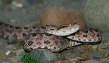木柵動物園員工遭「龜殼花」蛇吻 急送萬芳醫院救治