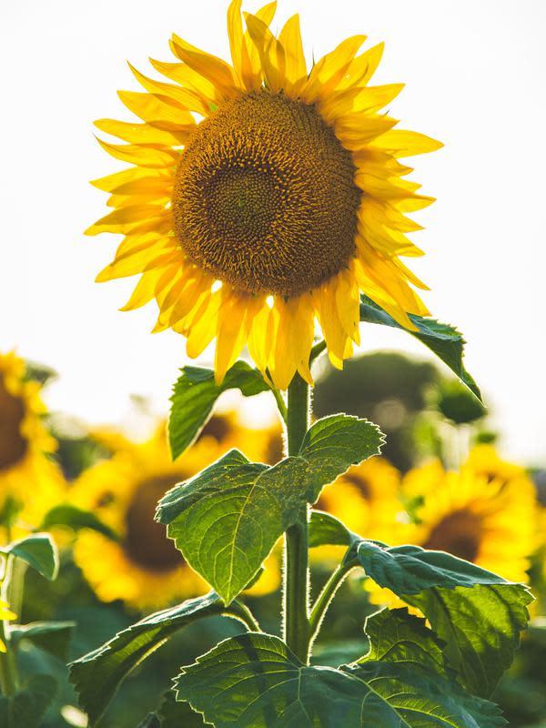 Bunga matahari. (dok. Paul Green/Unsplash/Adhita Diansyavira)