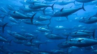 海上巨無霸難擋人類口慾 黑鮪魚走上滅絕之路|年度回顧專題