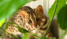 動物園驚傳石虎脫逃事件!好好認識台灣珍貴國寶「石虎」