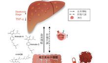 人體臨床試驗發現 服樟芝可降低脂肪肝