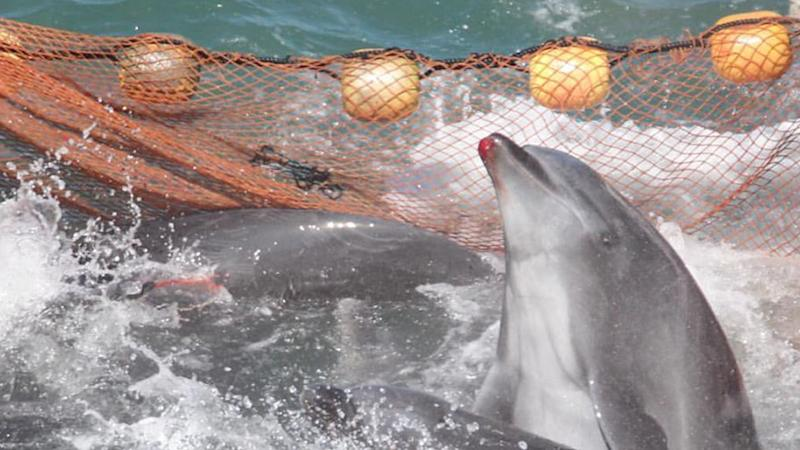 Dolphins splash about in a net. One dolphin has a bloody lip.