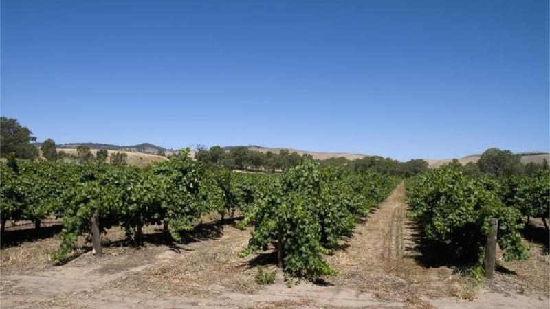 General view of a vineyard in the Barossa wine region, South Australia, Australia.