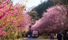 碰上228連假遊客盼多一天賞櫻 武陵農場櫻花季管制延長至3/1