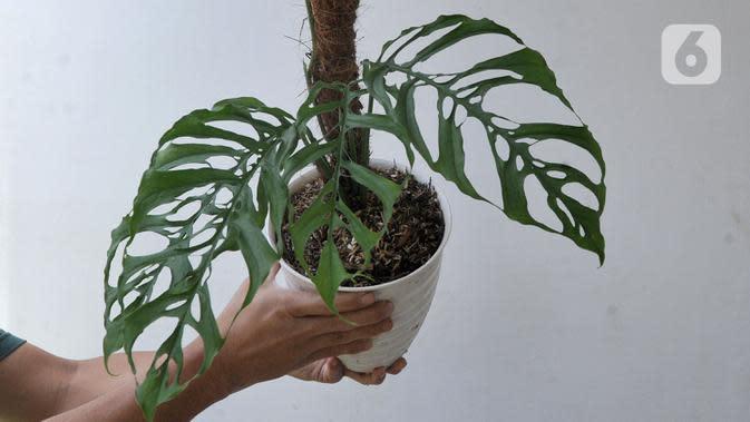 Staf menunjukkan tanaman hias Monstera Obliqua atau Janda Bolong seharga Rp 200 juta yang akan diekspor di Kantor PT Alchemie Berkah Bersama, Sawangan, Depok, Senin (5/10/2020). Tingginya permintaan ekspor menyebabkan mahalnya harga Janda Bolong. (merdeka.com/Arie Basuki)