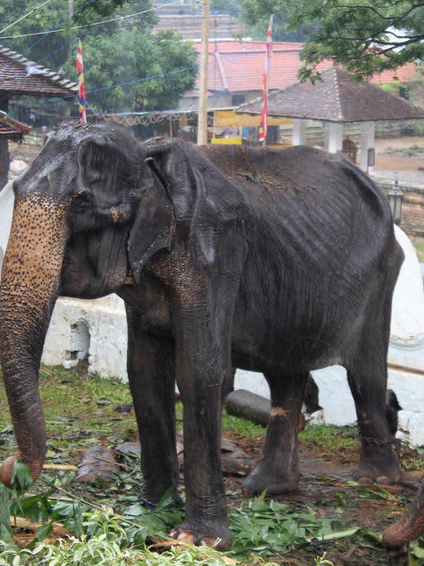 Gajah kurus bernama Tikiri memakan tumbuh-tumbuhan di Kuil Gigi, Kandy, Sri Lanka, Selasa (13/8/2019). Gajah malang tersebut menjadi sorotan setelah fotonya saat sedang parade dalam Festival Perahera viral di media sosial (medsos). (STR/AFP)