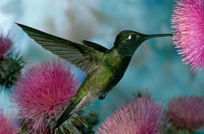 A green hummingbird flies towards pink flowers.