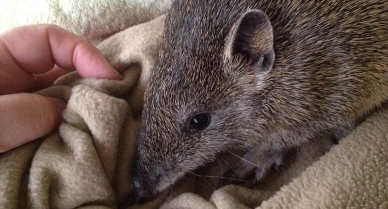 This bandicoot was lucky but the wildlife centre says these types of cases are regularly admitted. Source Facebook
