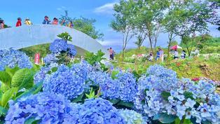 高家繡球花田第三園區開放了!千萬朵繡球花打造驚人美景