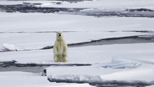 熊類中生育率最低!三分鐘了解極地霸主「北極熊」生存困境|年度回顧專題