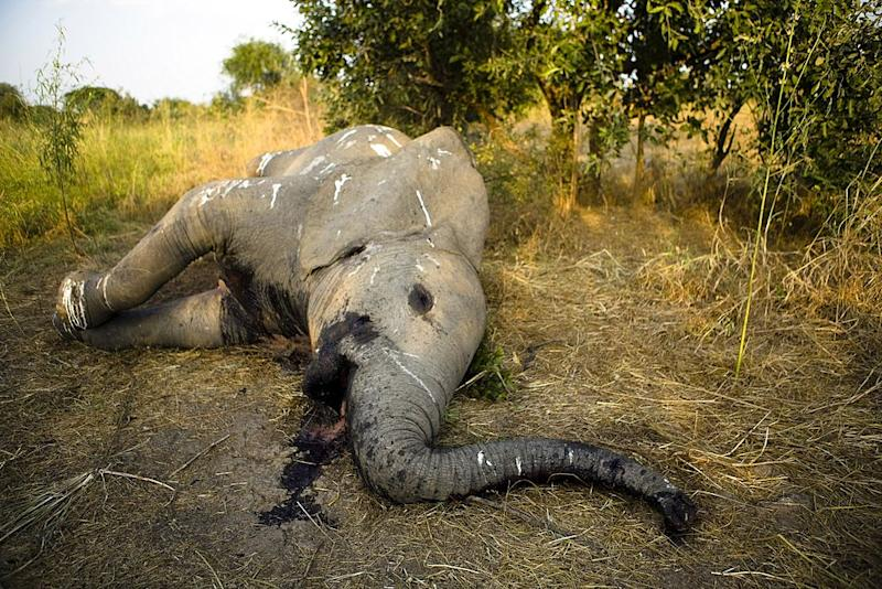 An elephant lies dead in a field with its tusks removed.