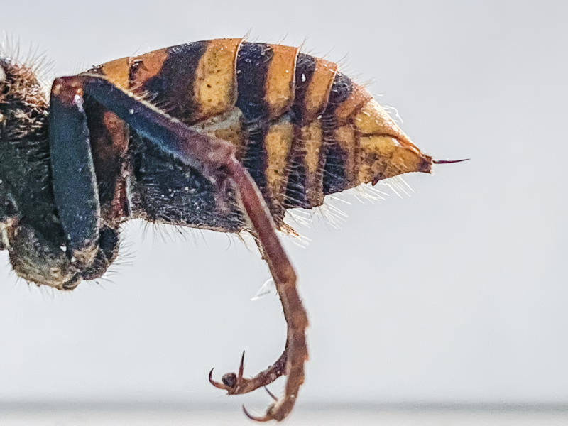 "In this Dec. 30, 2019, photo provided by the Washington State Department of Agriculture, the stinger of a dead Asian giant hornet is photographed in a lab in Olympia, Wash. The world's largest hornet, a 2-inch long killer with an appetite for honey bees, has been found in Washington state and entomologists are making plans to wipe it out. Dubbed the ""Murder Hornet"" by some, the Asian giant hornet has a sting that could be fatal to some humans. It is just now starting to emerge from hibernation. (Karla Salp/Washington State Department of Agriculture via AP)"