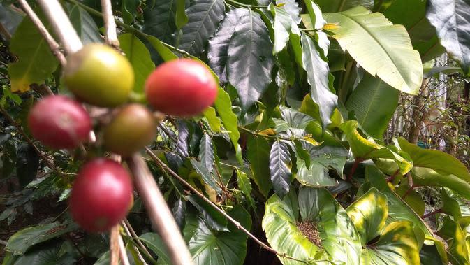 Biji kopi di salah satu kebun di Kabupaten Bener Meriah (Liputan6.com/Rino Abonita)